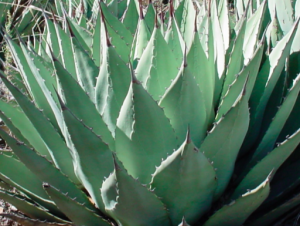 Agave parryi 'Flagstaff'