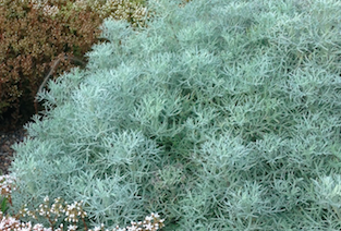 Artemesia versicolor 'Seafoam'