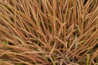 Arthropodium maculatum 'Purpureum'