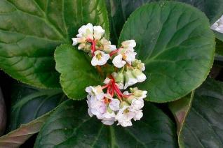 Bergenia ciliata 'Susan Riley' flowers