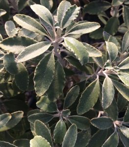 Brachyglottis monroi
