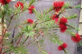 Callistemon subulatus 'Dark Red'