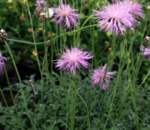 Centaurea simplicicaulis
