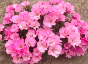 Clarkia amoena 'Dwarf Pink'