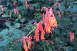 Cuphea cyanea 'Strybing Sunset'
