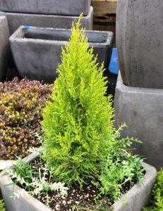 Cupressus macrocarpa 'Wilma Goldcrest'