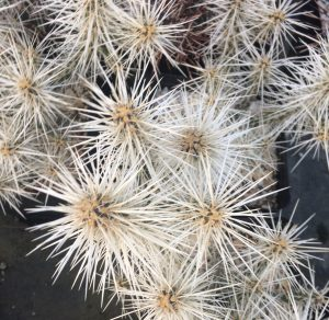 Cylindropuntia whipplei 'White Spine'
