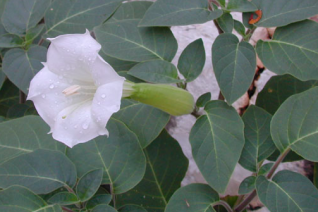 Datura wrightii 'High Altitude Form'