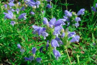 Dracocephalum austriacum 'Fuji Blue'