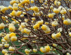 Edgeworthia chrysantha 'Nanjing Beauty'