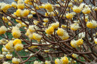 Edgeworthia chrysantha 'Nanjing Beauty'