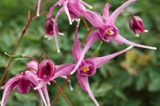 Epimedium x grandiflorum 'Pierre's Purple'
