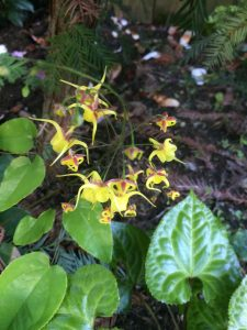 Epimedium x 'Golden Treasure'