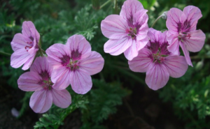 Erodium x 'Spanish Eyes'