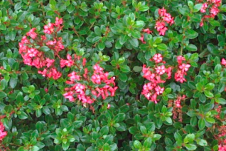 Escallonia 'Compact Pink'