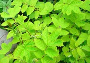 Filipendula ulmaria 'Aurea'