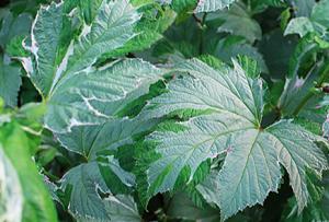 Filipendula palmata 'Variegata'