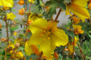 Fremontodendron x 'San Gabriel'