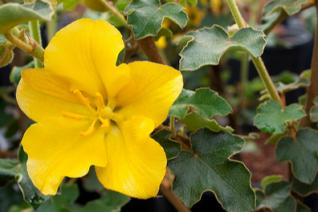 Fremontodendron x 'California Glory'