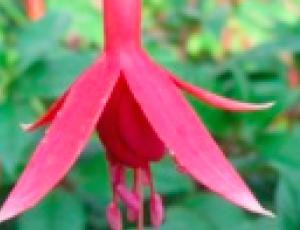 Fuchsia 'Ravenslaw'