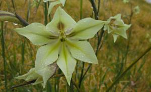 Gladiolus tristis 'Moonlight'