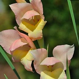 Gladiolus dalenii 'Bolivian Peach'