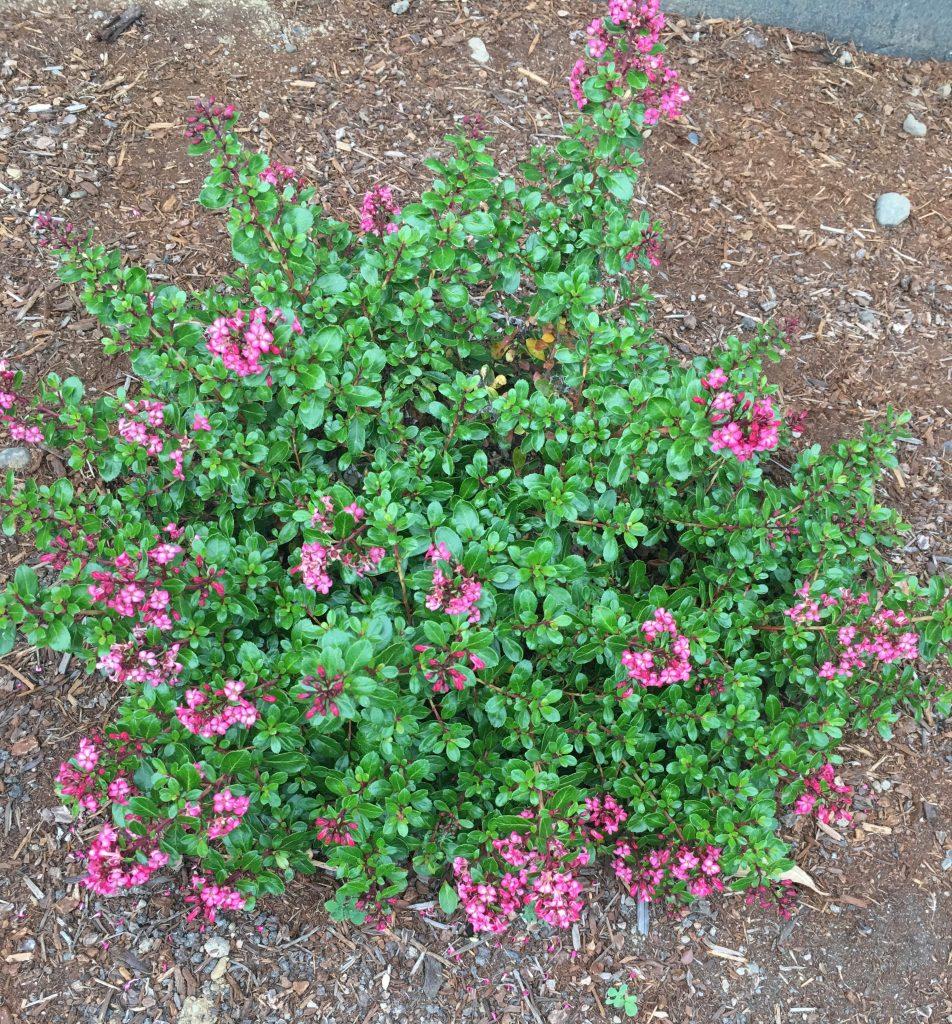 Escallonia 'Compact Pink'