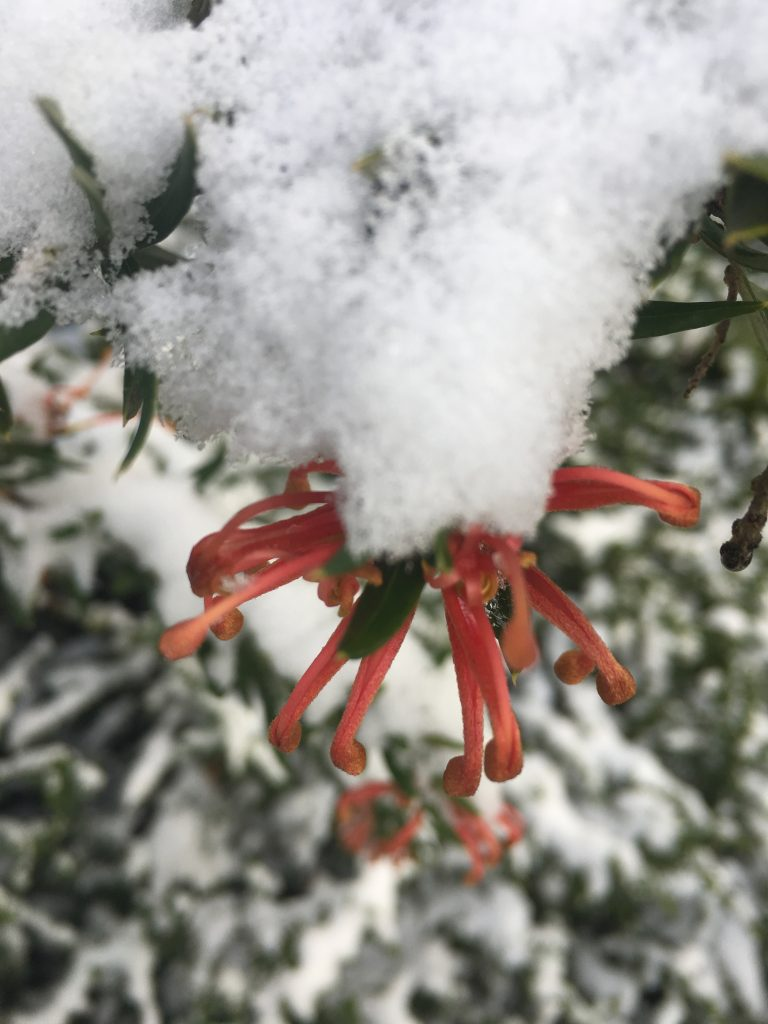 Grevillea x 'Octopinky' flowering through snow