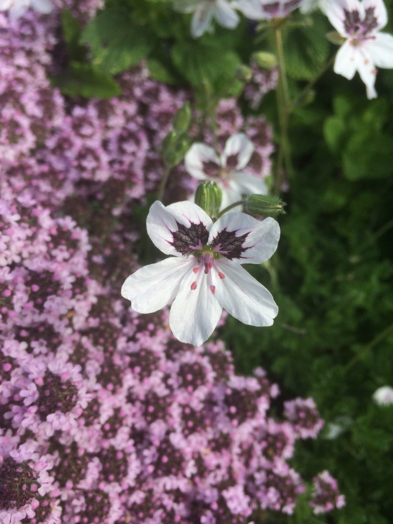 Erodium x 'Stephanie'