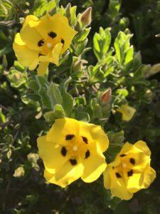 Halimium lasianthum ssp. formosum