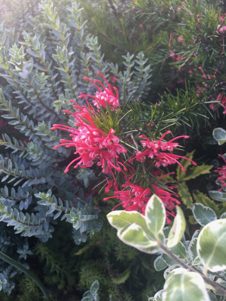 Grevillea x 'Canberra Gem' in a garden setting