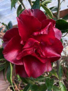 Camellia japonica 'Black Magic'