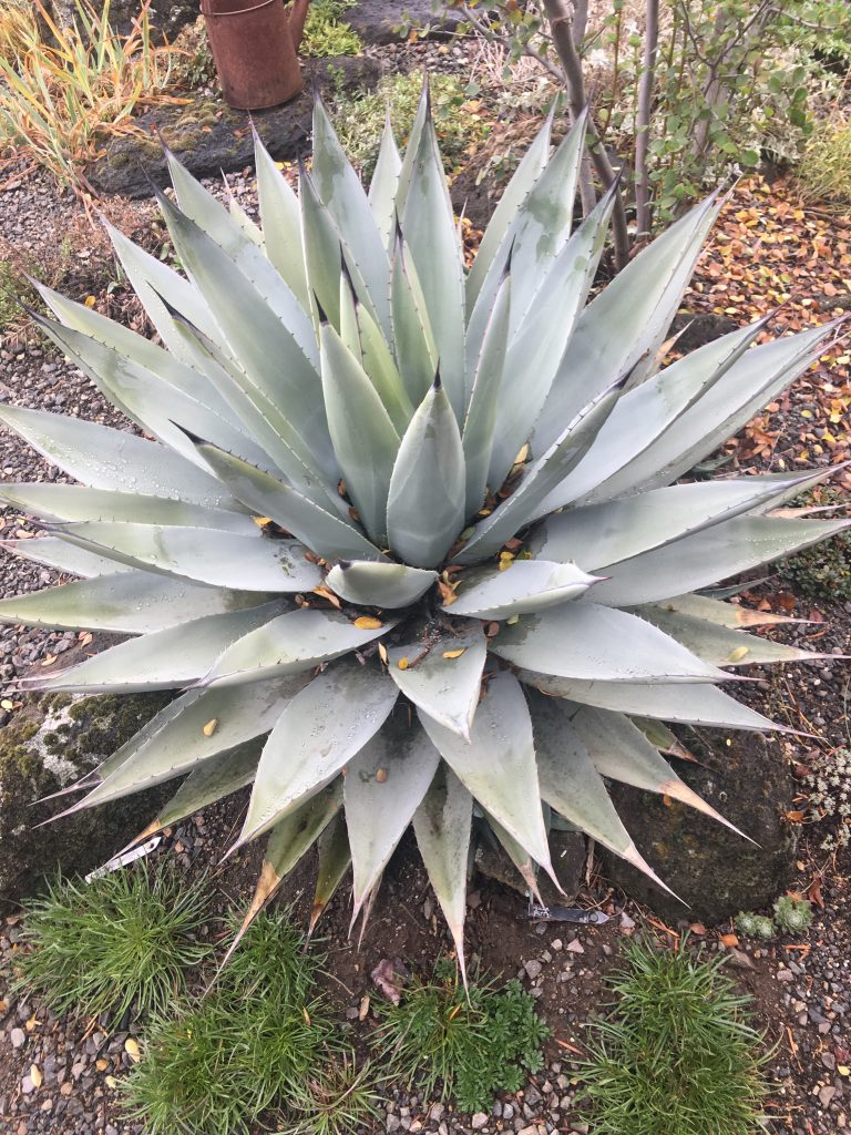 Agave parryi ssp. neomexicana