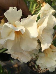 Nerium oleander 'Mathilde Ferrier'