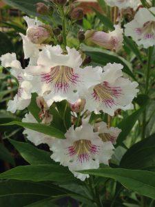 Chitalpa x tashkentensis 'White Dawn'