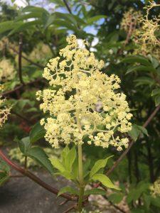 Sambucus mexicana ssp. cerulea