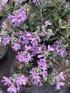 Rosmarinus (Salvia) officinalis 'Majorca Pink'