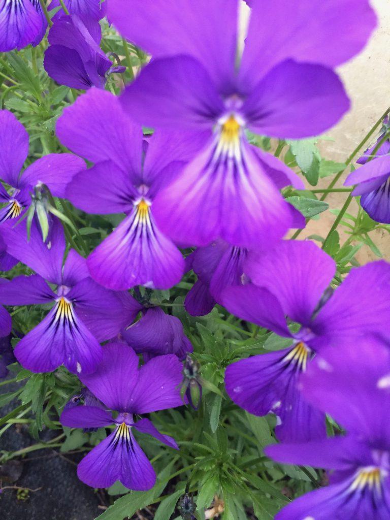 Viola Corsica Xera Plants