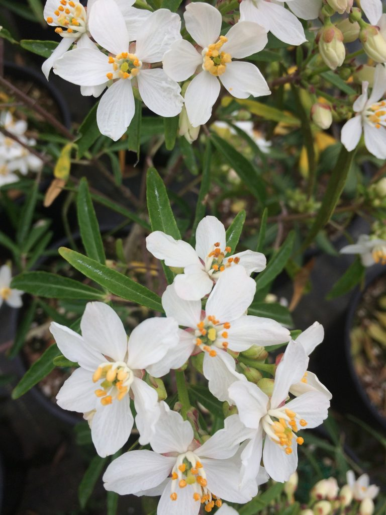 Choisya x  'Aztec Pearl' flowers