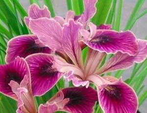 Iris x pacifica 'Native Warrior'