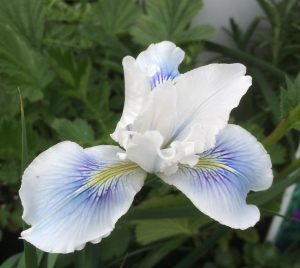 Iris x pacifica 'Watercolor'