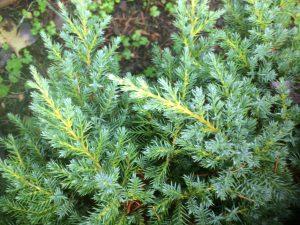 Juniperus 'Daub's Frosted'