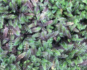 Leptinella squalida 'Platt's Black'