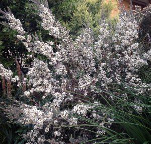 Leptospermum cunninghamii 'Silver Form'