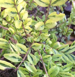 Lonicera 'Lemon Beauty'