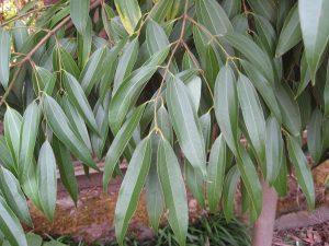 Cinnamomum checkiangense