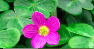 Oxalis oregana 'Select Pink'