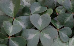 Oxalis oregana 'Wintergreen'