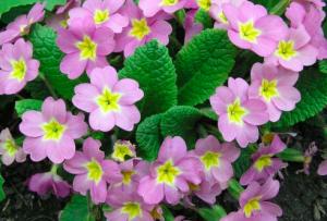 Primula vulgaris var. sidthorpii