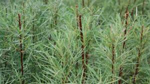 Salix eleagnos var. angustifolia